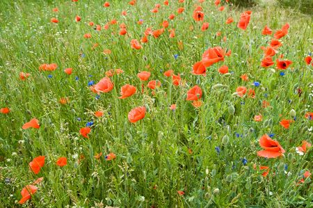 meadow of poppies and cornflowers photo