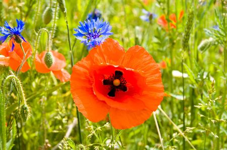 red poppy and blue cornflowers in nature photo