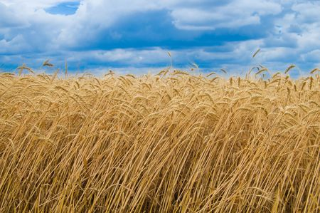 field of ripe wheat gold color south Ukraine Stock Photo - 5363835