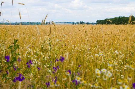 field of ripe wheat south Ukraine photo