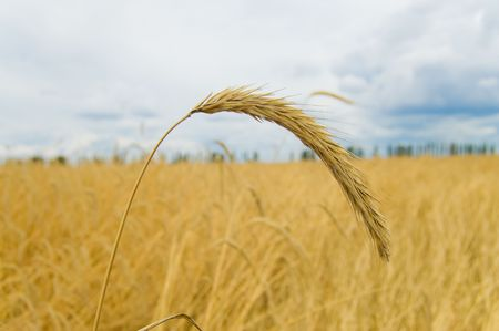 ear of wheat with blue sky on a background Stock Photo - 5363861