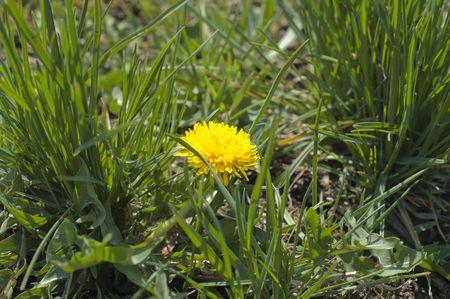 dandelion in field photo