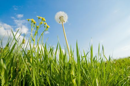 old dandelion in green grass field and blue sky Stock Photo - 5538788