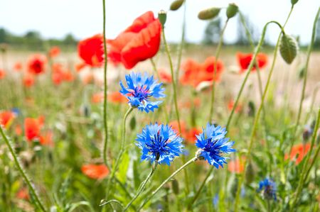 meadow of poppies and cornflowers. selective focus photo