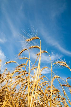 Golden wheat ears with blue sky over them. south Ukraine Stock Photo - 5563266