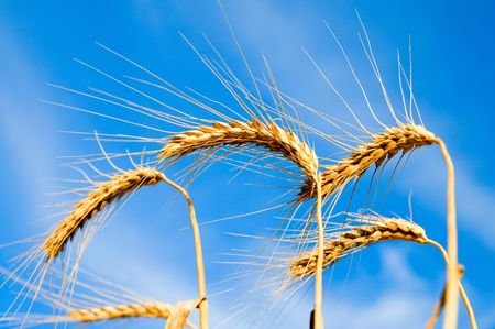 ears of ripe wheat on a background blue sky Stock Photo - 5563295
