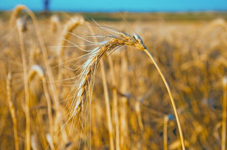 gold wheat at sunset. south Ukraine Stock Photo - 5563284