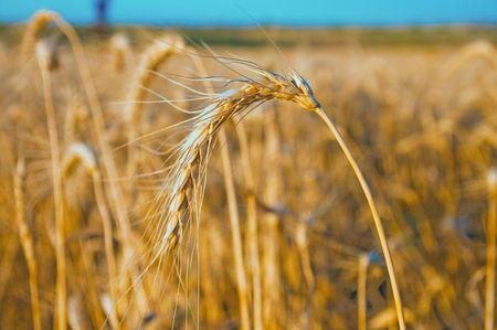 gold wheat at sunset. south Ukraine Stock Photo - 5563284