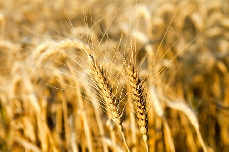 ears of ripe wheat on a background the field Stock Photo - 5563265