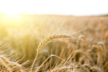 ears of ripe wheat on a background a sun Stock Photo - 5563285