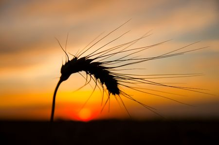 ears of ripe wheat on a background a sun in the evening Stock Photo - 5563272