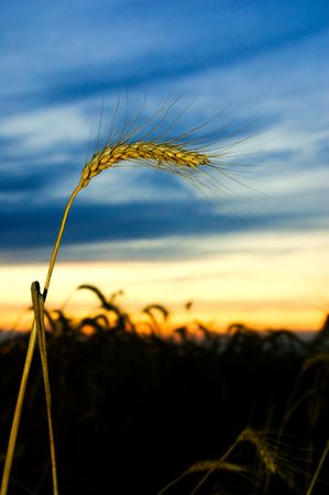 ears of ripe wheat on a background a sunset photo