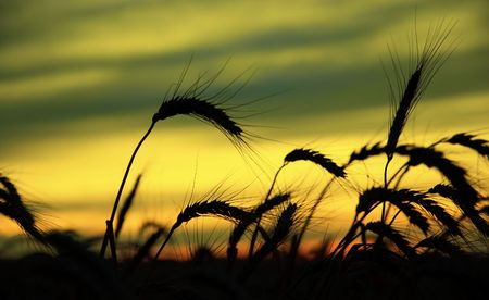 ripe wheat at sunset. south Ukraine photo