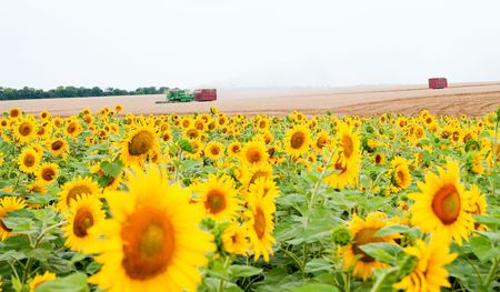 sunflowers on the field Stock Photo - 5563305