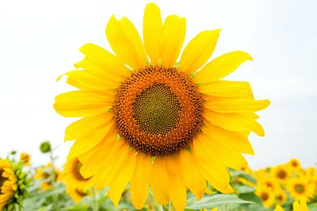 sunflower on the field Stock Photo - 5563291