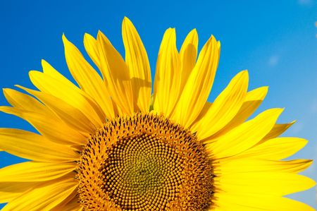 part of sunflower as background Stock Photo - 5563279