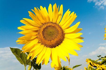 beautiful sunflower on the field Stock Photo - 5563290