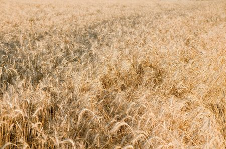 ears of ripe wheat on a field Stock Photo - 5699262