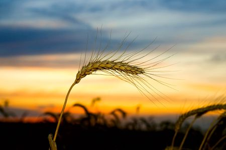 ripe wheat at sunset. south Ukraine  Stock Photo