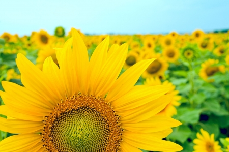part of sunflower as background  Stock Photo - 5699757