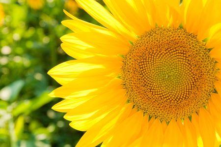 sunflower on the field Stock Photo - 5699773