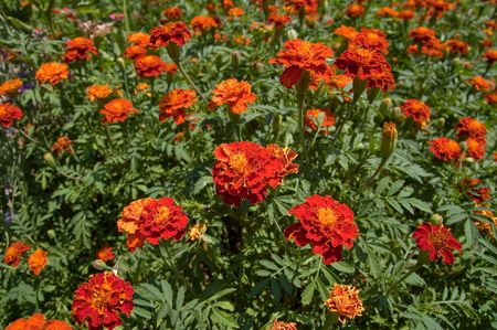 marigolds in nature Stock Photo - 5699756