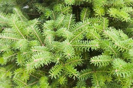 green pine close up photo