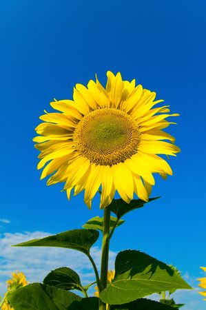 sunflower on a background the sky photo