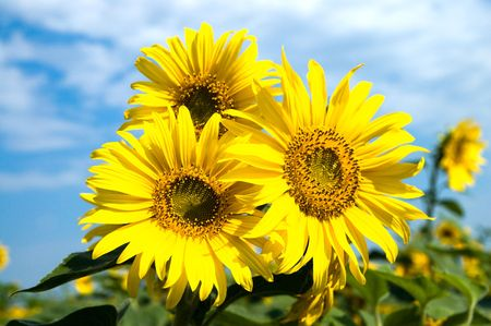 sunflowers family on a background sky Stock Photo - 5954857