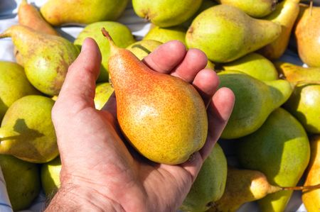 a pear of new harvest is in a hand photo