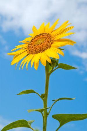 sunflower close-up central part photo