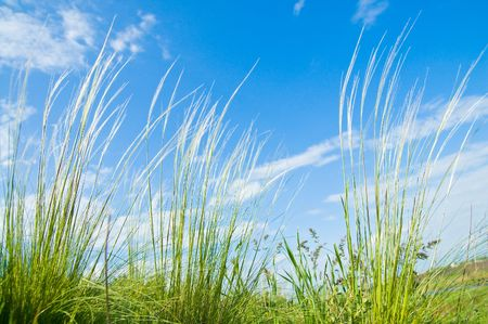 Stipa grass on blue sky background. view from below photo