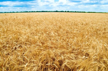 Golden wheat ears with blue sky over them. south Ukraine Stock Photo - 6087926