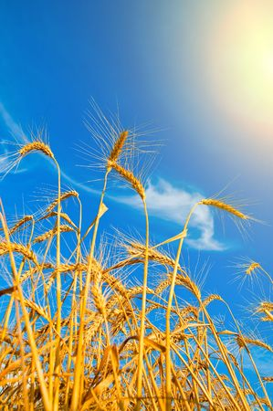 Golden wheat ears with sun over them. south Ukraine photo