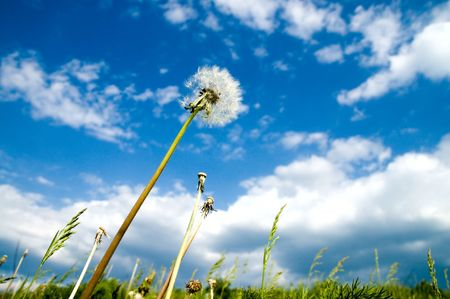 old dandelion and blue sky photo