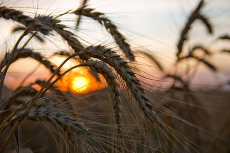 ripe wheat at sunset with sun. south Ukraine photo