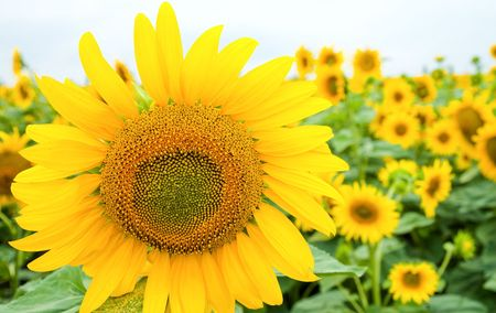 sunflower on the field Stock Photo - 6139044