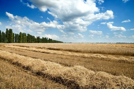 Golden wheat ears with blue sky over them. south Ukraine photo