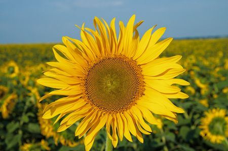 sunflowers in the field Stock Photo - 6475146