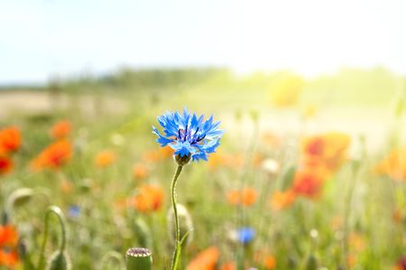 blue cornflowers in the rays of the sun photo