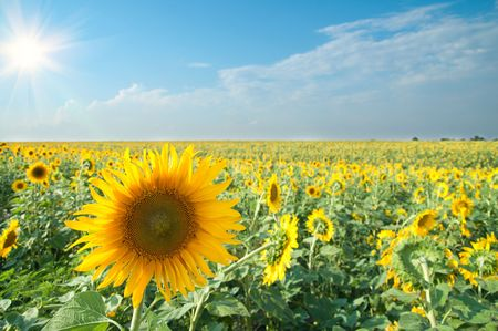 sunflowers with sun in the field Stock Photo - 6475173