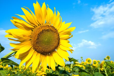 sunflower on the field Stock Photo - 6475166