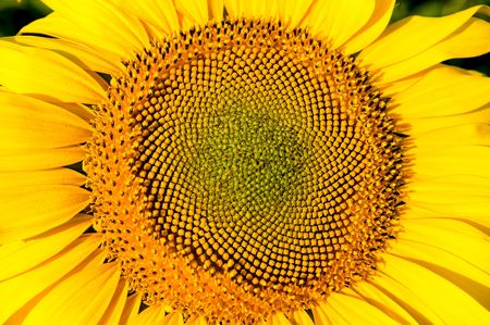 central part of sunflower Stock Photo - 6521446