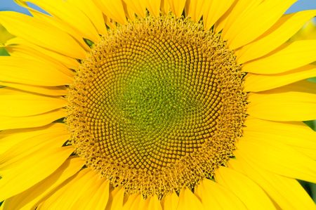 sunflower Stock Photo - 6521448