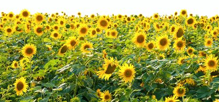 sunflowers in the field Stock Photo - 6521447