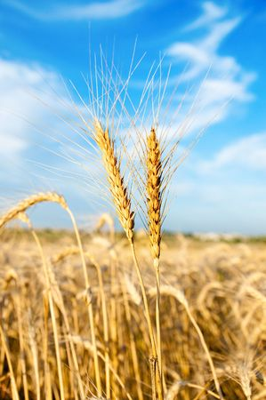 two ears of wheat over all photo