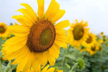 sunflowers on the field Stock Photo - 6668098