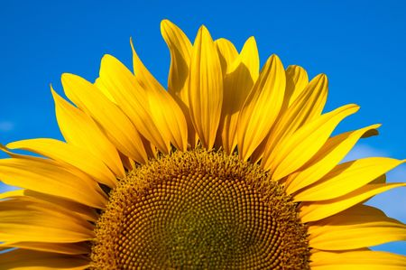 part of sunflower as background photo
