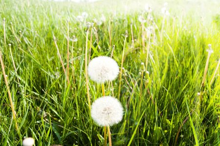 old dandelions in green grass field and sun rays Stock Photo - 6668099