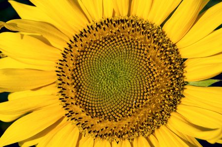 central part of sunflower as background photo